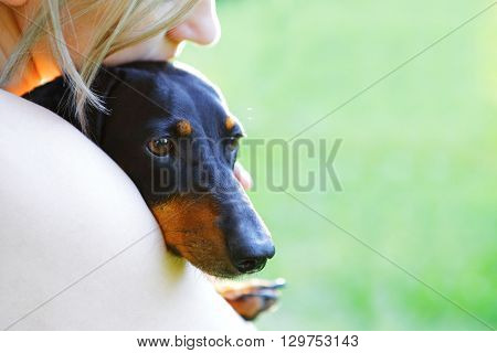 Portrait Of Black Dachshund Closeup In A Woman's Embrace