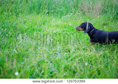 Black Smooth-haired Dachshund Among The Green Grass