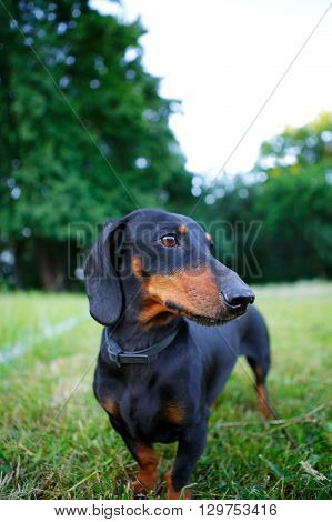 Portrait Of Black And Red Dachshund Among The Summer Nature