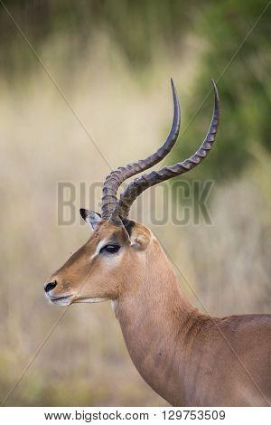 Impala ram looking for a possible danger portrait