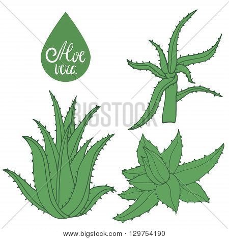 Collection of hand drawing aloe isolated on white. Green leaves of aloe vera. Vector Illustration