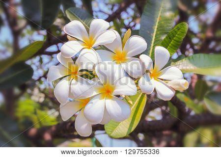 White plumeria on the plumeria tree in garden outdoor with beautiful
