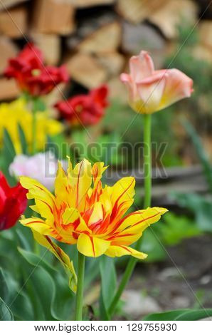 Closup of colorful tulip or tulips, spring photo