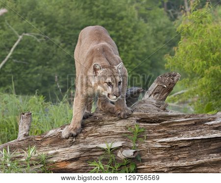 Cougar in a crouching postion ready to pounce