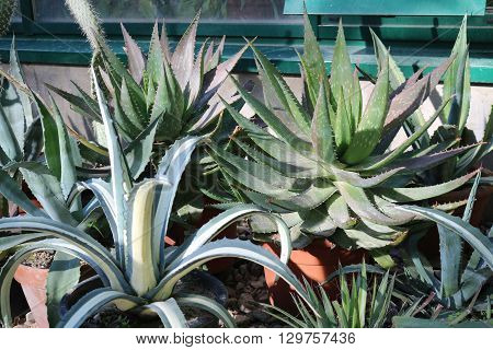 Aloe (aloë) - genus of succulent plants of the subfamily asphodeloideae family santorreevye (Xanthorrhoeaceae), containing more than 500 species