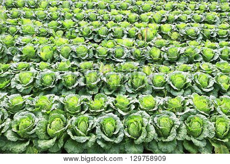 Napa cabbage or Chinese Cabbage in a field, ready for harvest.