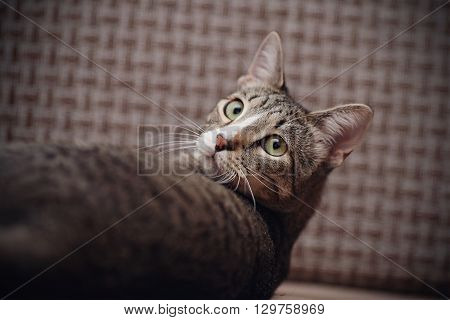 Portrait of the turned-back domestic striped cat