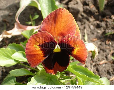 Autumn Mix Blotch Pansy 'Majestic Giants' .