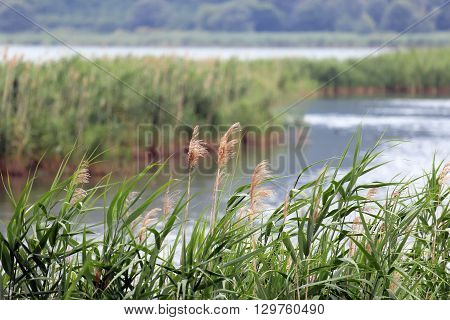 reed bed in summer time Vico lake Italy