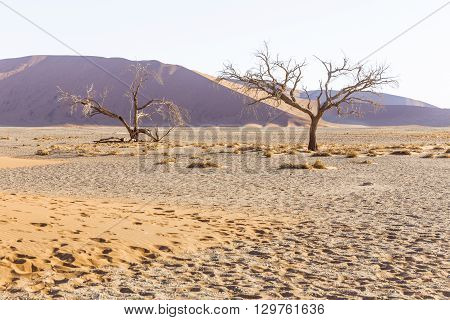 View of trees near the dune 45 in the Namib Desert Sossusvlei in the Namib-Naukluft National Park of Namibia