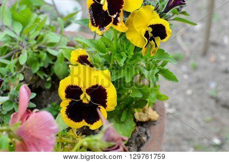 Viola Cornuta - Horned Violet In A Pot