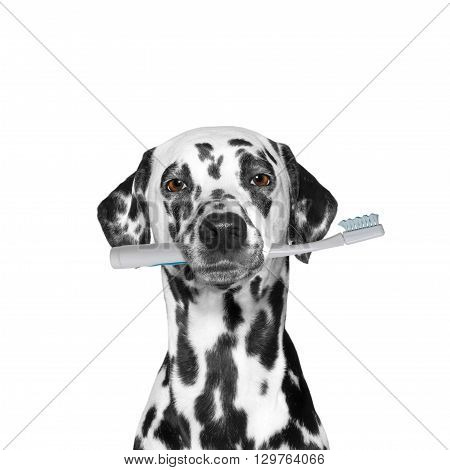 dog holding a toothbrush -- isolated on white