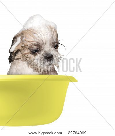 dog washing in a basin -- isolated on white