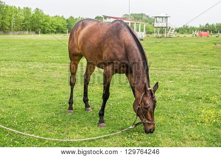 Grazing Brown Horse on the Farm ranch.