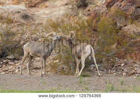a pair of desert bighorn sheep rams sparring in the rut