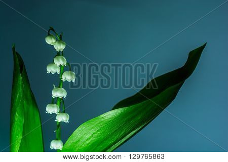 Twigs of Lilly of the valley flowers isolated on blue background