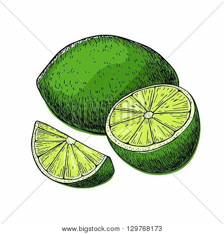 Vector hand drawn lime fruit with sliced peaces. Tropical summer fruit engraved style illustration. Detailed citrus drawing.