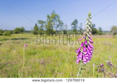 Purple Foxglove In The High Fens, Belgium
