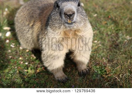 Alpine Marmot at Pennine Alps in Switzerland