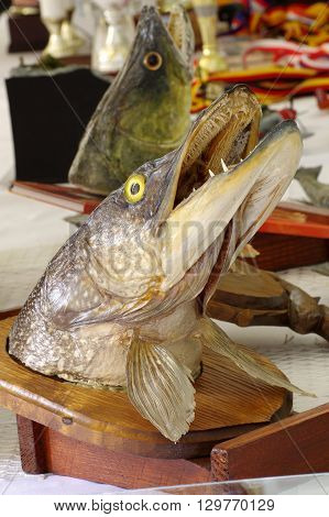 Pike head fishing trophy objects taxidermy theme.