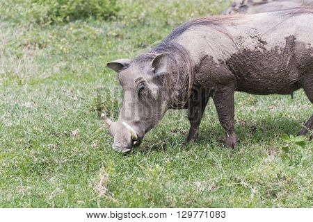 A warthog sow grazing on the Serengeti.
