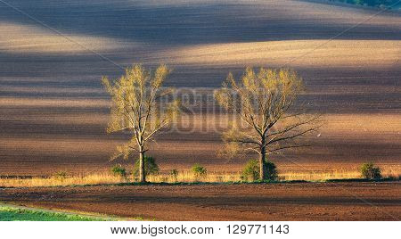 Lonely Trees In Moravian Fields At Colorful Sunset In Spring