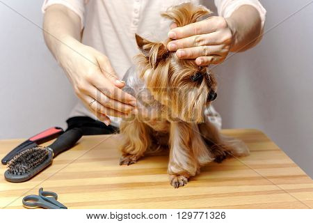 Grooming for Yorkshire Terriere dog and human hands.