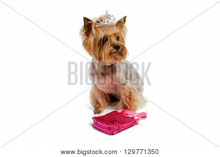 Yorkshire Terrier in a crown on an isolated background
