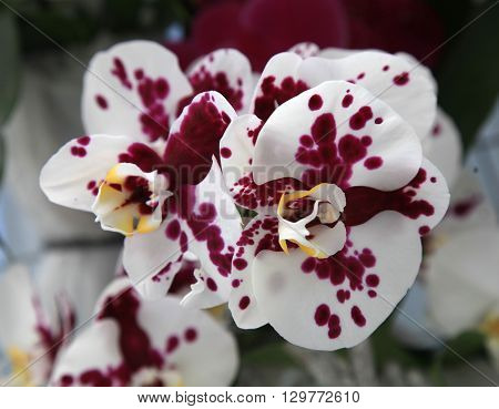 Beautiful white orchids with pink spots close up, selective focus
