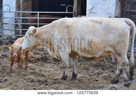 cow and calf farm in South Bohemia Czech Republic