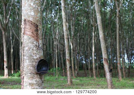 para rubber trees garden with black bowl