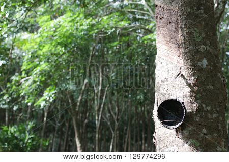 para rubber trees garden with bowl and sunlight
