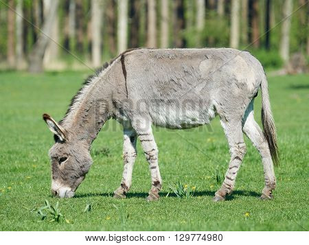 Donkey eating grass with vegetation in the background