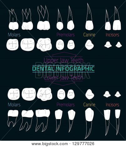 Human teeth infographic. Editable vector illustration with Lower and Upper jaw teeth. Medical image in white and gray colors on a dark background useful for poster, leaflet or brochure graphic design.