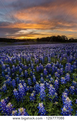 Beautiful Texas Bluebonnet Field In At Muleshoe Bend Recreation Area Near Austin During Sunset.