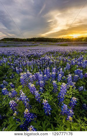 Beautiful Bluebonnets Field At Sunset Near Austin, Texas.