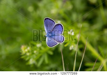 amazing blue outspread butterfly in garden. Close