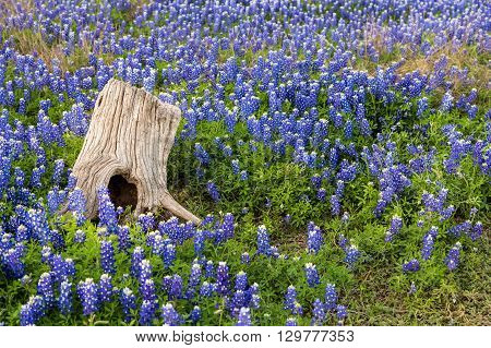 Beautiful Texas Bluebonnet field and tree Stump