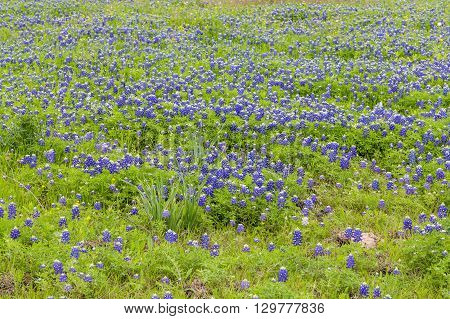 Bluebonnet field in Ennis Texas in spring