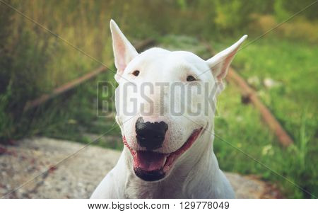 English bullterrier walks outdoors in the summer