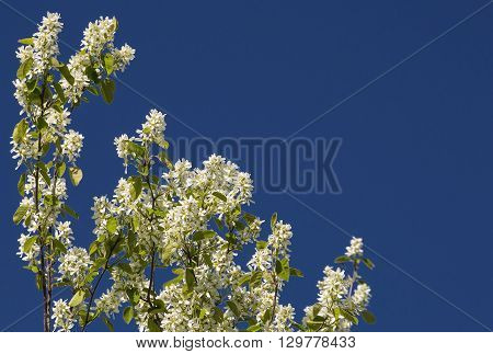 White flowerses discharges on background blue sky