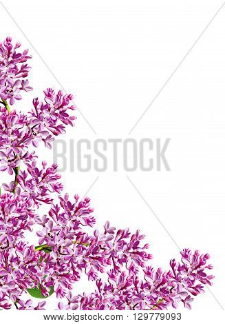 spring flowers lilac; isolated on white background. beautiful flowers