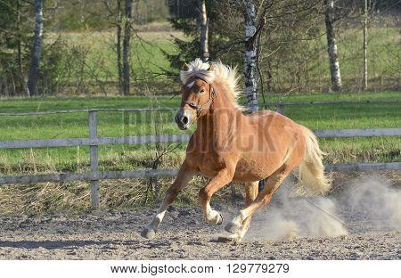 Brown horse gallop on dusty farm yard