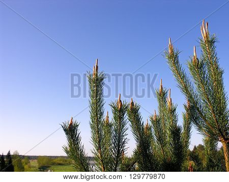 Young pine needles on the sky background