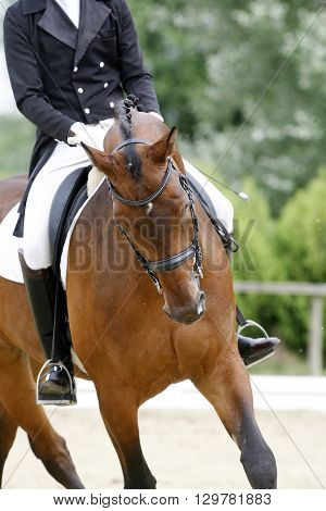 Bautiful purebred racehorse on dressage training canter outdoors