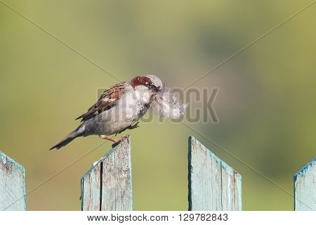 bird Sparrow sitting on wooden fence with a feather in its beak to build a nest