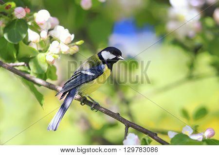 young blue tit on the branch of a blossoming Apple tree in spring
