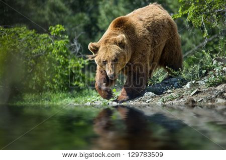 bear in forest on river