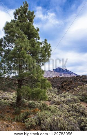 The Canary pine is picturesquely situated amid the top of the volcano Teide on Tenerife. Spain.