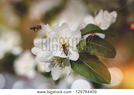Bees collect pollen from apple tree. Close up of two bees hovering and collecting pollen from flowers of apple tree in spring. Macro, selective focus